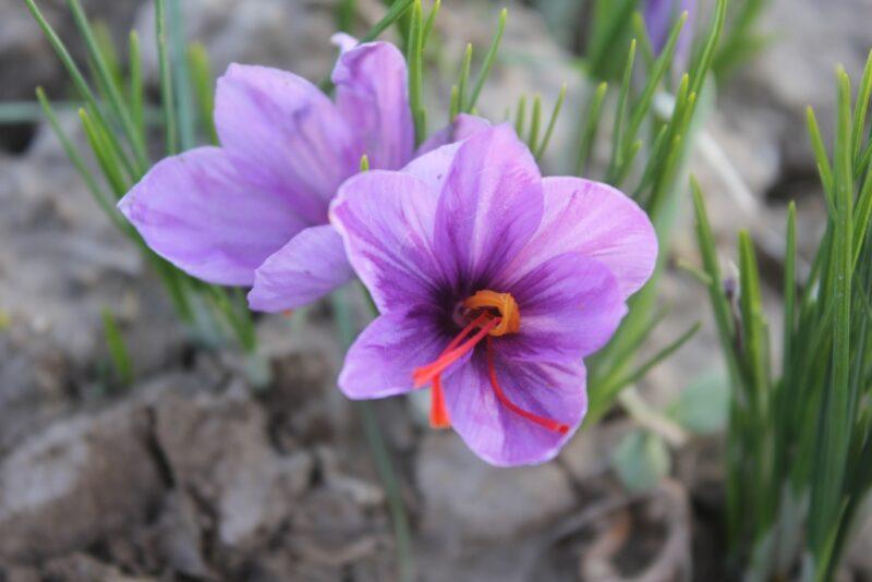 benefits of saffron
