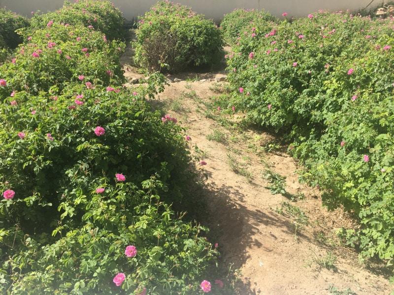 damask rosebuds